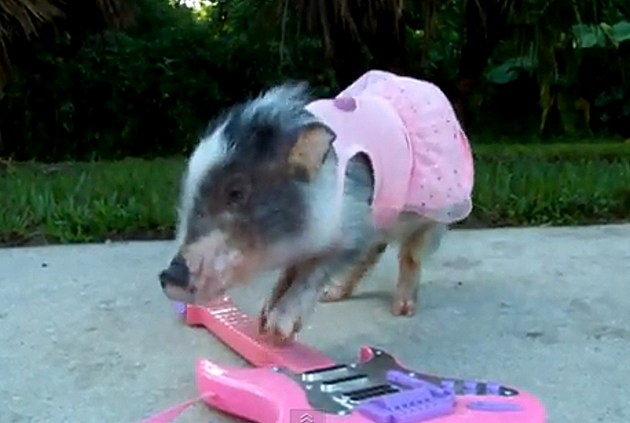 Pig in Dress Playing Guitar