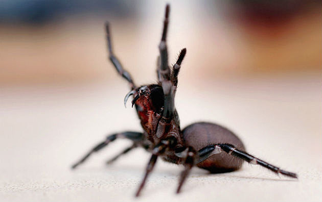 New \'Tiger Spider\' Tarantula Discovered in Sri Lanka is The Size of ...